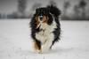 Mr. Plow (Stefan (ON/OFF)) Tags: aussie australianshepherd dog hund shepherd bordercollie snow fun schnee schneepflug snowplow animal sony sonya7m2 walimexpro1352 samyang1352 135mm manualfocus winter