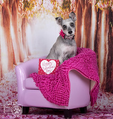 Bonnie Valentine (Shutters for Shelters) Tags: misfitsdogrescue schnauzers shuttersforshelters s4s jillt8 colorado dogs bonnie pink valentines chair