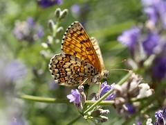 Dans la lavande (¡! Nature B■x !¡) Tags: p7133378 damier euphydryas mélitée insecte lepidoptera lépidoptère nymphalidae nymphalinae melitaea nature papillon butterfly lavande lavender checkered explorer