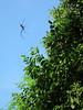 Araigne illusioniste (Les amis des insectes) Tags: animal arachnide nature hexapode extérieur macro profondeurdechamp