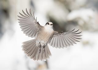 Mésangeai du Canada - Perisoreus canadensis - Grey Jay