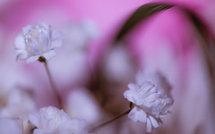 Baby's breath (lnoelle89) Tags: flower flowers pink red magenta plantlife plant life lily babysbreath canon canon6d canonphotography canonofficial canon100mm macro