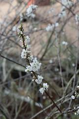 IMG_7860 (armadil) Tags: plum plumtree plumtrees flower flowers plumflowers