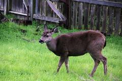 Ruminating (TJ Gehling) Tags: mammal cervidae deer blacktaileddeer odocoileus odocoileushemionus drmp dorothyrosenbergmemorialpark elcerrito