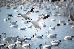 Day 28 ~  Snow Geese landing (champbass2) Tags: day365project 3652017 day28365 day28 2017 snowgoosefestival snowgeese pacificflyway wintermigration inflight landing birding sacramentonationalwildliferefuge snwr california usa glenncounty chico nature wildlife chencaerulescens