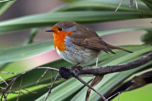 Robin (Project 365 - 2017 26/365)