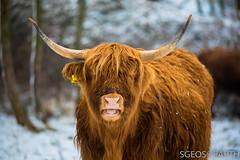 20170211-IMG_2664 (SGEOS@EARTH) Tags: schotse hooglander highland cattle scottish oerossen wildlife nature outdoor observer canon konikpaarden wilde paarden konik polish