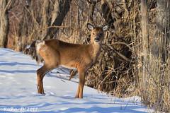 Faon / Fawn (Richard Vézina) Tags: wildlife mammifère cerf nikond750 nikon 300mm f4