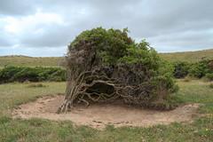 Windblown (nathan.england79) Tags: travel trees nature fuji australia tasmania kingisland fujixe1