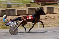 _MA74262 (le Brooklands) Tags: horses racetrack race bedford course jockey pace qc trot mouvement amble cheveaux sigma70200mm borderfx d7000