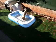 It's very hot outside (karine_avec_1_k) Tags: summer dog chien hot swimmingpool chaud piscine ete
