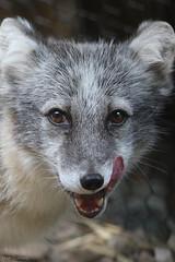 arctic fox 2 (Mark Dumont) Tags: animals mammal zoo mark cincinnati arctic fox dumont specanimal