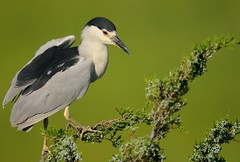 Black Crowned Night Heron (Mark Schwall) Tags: bird birds newjersey nikon adult nj perched manualfocus blackcrownednightheron southernnewjersey nycticoraxnycticorax wadingbirds wadingbird d300s nikkor600mmf4ais