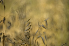 Wild Oats ... (pogmomadra) Tags: wild summer plants sunlight wednesday blurry weeds nikon bokeh oats hbw happybokehwednesday d5300