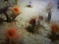 Wispy Anemones 3 (lmundy2002) Tags: montereybayaquarium monterey aquarium monteryaquarium fish turtle seaturtle jellyfish coral eel crab tropical anemone seaanemone