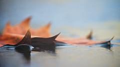 Futility (Sine--Qua--Non) Tags: nature outdoors winter leaf leaves macro frozen ice fall autumn