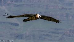 Bearded Vulture (michael heyns) Tags: beardedvulture birdsinflight endangeredspecies giantscastle lammergeier baardaasvoel