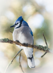 Blue Jay (Wild Birdy) Tags: kabekona laporte mn minnesota bird cute fat fluffy north northern wild wildlife blue jay cyanocitta cristata songbird usa aba winter branch tree snow bokeh lichen crest december bluejay chilly