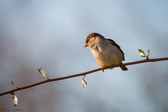 Huismus, House Sparrow (Paul van Agthoven) Tags: natgeo explore inexplore coth huismus texel nature zoom canonllens canon70d canon100400 bokeh dof nederland