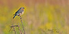 "Eastern Bluebird Female (2 of 2) in Spring at Duke Farms of Hillsborough NJ (takegoro) Tags: dukefarms naturepreserve ""hillsborough nj"" nature sanctuary spring wildlife bird easternbluebird female blue grass meadow"
