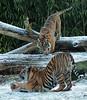 sumatran tiger Burgerszoo JN6A1356 (j.a.kok) Tags: tijger tiger sumatraansetijger sumatrantiger pantheratigrissumatrae tess nonja burgerszoo burgerzoo kat cat mammal zoogdier predator azie asia sumatra