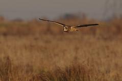 IMGP5327 Short-eared Owl, Burwell Fen, December 2016 (bobchappell55) Tags: shortearedowl birdofprey burwell fen wildlife wild nature naturereserve nationaltrust cambridgeshire flight hunting asio flammeus