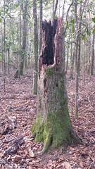 20161226_093113 (rolyrol1982) Tags: tree trunk lightning struck hit stump florida apalachicola state park forest fungus