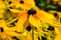 Rudbeckia hirta - Blacked eye Susan (Sandra Király Pictures) Tags: rudbeckiahirta blackeyedsusan flower flowers outdoor nature budapest hungary summer