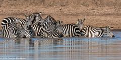 How Many? (Explore 14 December 2016) (Duncan Blackburn) Tags: 2016 serengeti tanzania mammal zebra grumeti nikon nature wildlife naturethroughthelens