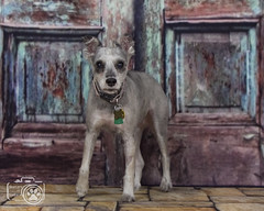 Bonnie1 (Shutters for Shelters) Tags: misfitsdogrescue schnauzers shuttersforshelters s4s jillt8 colorado dogs bonnie bluedoor