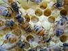 Closeup of nurse bees on capped brood and Larvae (closeup macro) (2) (nicephotog) Tags: larvae cell european honeybee bee apis mellifera comb brood hive beehive capped closeup macro