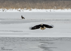 Bald Eagle fishing. (Estrada77) Tags: nikon 200500mm december 2016 bald eagle in flight raptors wildlife outdoors fox river fishing