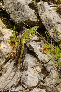 Lagarto ocelado Ocellated lizard (Timon lepidus)