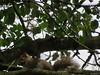 Squirrels Jacko Linear Park Brackenstown Reservoir Swords Co. Dublin Ireland (gallftree008) Tags: squirrels jacko linear park brackenstown reservoir swords co dublin ireland squirrel nature naturescreations naturesbeauties wildlife wild forest tree trees animals county codublin dub fingal irish irishwildlife jackopark leaves thewardriver underthetrees ward amazingnature