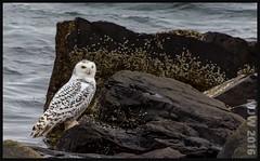 Snowy Owl (Jamikdonde) Tags: bird birdsofprey owl snowyowl wildlife nova scotia wild
