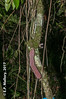 2017-02-03 TEC-3246 Zygia peckii - E.P. Mallory (B Mlry) Tags: 2017 6leaflets1pinnate tec belize belizezoo compoundleaf fabaceae flora leafstructure mimosoideae simplefruit tbz transitionforestlongtrail tropicaleducationcenter zygiastevensonii cauliflorous dehiscentdryfruit elongatebean podsplittingintohavesalong2seamswhendry foliage fruit habitat insitu legumbre legume trails type democracia