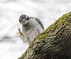 Hi (markmolloy) Tags: bird wild nature goshawk hawk raptor talons rare threatened explore ngc