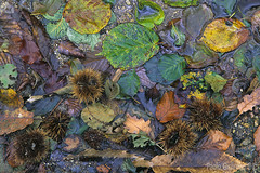 sottobosco, undergrowth (paolo.gislimberti) Tags: fogliesecchericcidicastagnasottobosco deadleaves undergrowth macro