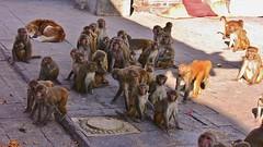 "NEPAL, Kathmandu,  Stupa von Swayambhunath, Affenbande , 15145/7844 (roba66 Thx for +27 Million views) Tags: reisen travel explore voyages urlaub visit roba66 nepal asien südasien asia city stadt capitol kathmandubefore earthquake ""stupa von swayambhunath"" stupa swayambhunath tempel tempelanlage eastasia temple tier tiere animal animals creature affe primate baboon monkey ape apes monkys makaken"
