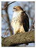 Adult Red-tailed Hawk (Redtail10025) Tags: birds hawks birdsofprey red tail tailed redtailed raptors urban adult riverside park morningside heights nyc wildlife