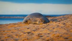 Monk Seal (Lace Photos www.lacephotos.com) Tags: seal monkseal hawaii kauai endangered