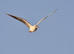 Black Headed Gull 1st Winter (pinushooter) Tags: black headed gull 1st winter bird avian photography nikon d7100 nikkor 200500mm pinushooter