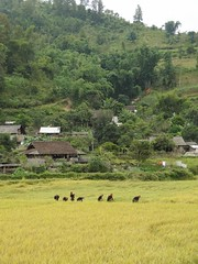 Dressed in black (program monkey) Tags: rice harvest ha giang province vietnam paddy women line black garments