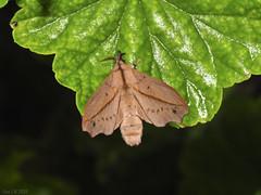 Bharetta cf. cinnamomea , Lasiocampidae (Green Baron Pro) Tags: malaysia 200903 moth frasershill brinchang needid lasiocampidae