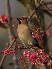 Waxwing (Paul West ( pwest.me )) Tags: waxwings waxwing nature urban bird birds countryside uk lancashire preston