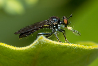 Robber Fly - Eudioctria