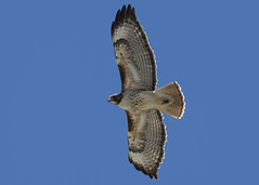 Red-tailed Hawk_4859 (Mike Head -Jetwashphotos) Tags: canada bc hawk britishcolumbia hunting richmond raptor soaring redtailedhawk buteojamaicensis lowermainland buteo westerncanada westernregion diurnalraptor lowerfraservalley