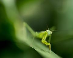 20150626 (Seluma) Tags: animal june insect prayingmantis invertebrate 2015 seluma june2015 3652015 seluma june2015pad