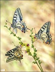 Tu,yo,y la vida (- JAM -) Tags: naturaleza flower macro nature insect nikon flor explore jam mariposas d800 insecto macrofotografia explored lepidopteros juanadradas