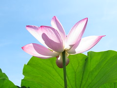 pink ,blue and green (oneroadlucky) Tags: pink plant flower nature waterlily lotus